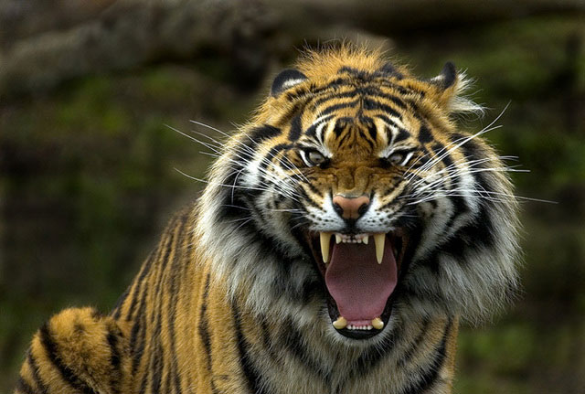 Rare Sumatran Tiger rescued from shop in Indonesia after 3 days